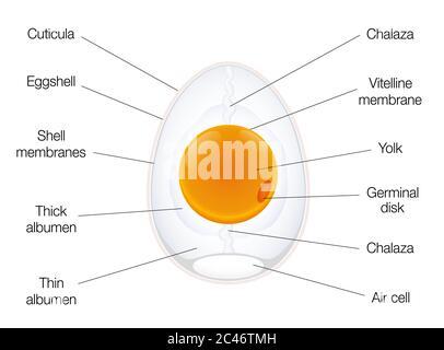 Anatomía de un huevo de aves. Gráfico de estructura de huevo con nombres de los componentes - ilustración sobre fondo blanco.