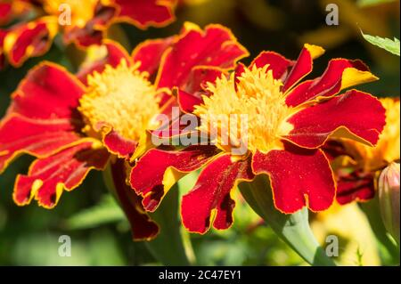 Primer plano de flores de Marigold (Tagetes pápula), Inglaterra, Reino Unido