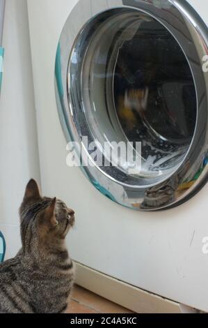 Gato gato tabby curioso jugando con la ropa de la lavadora Foto de stock
