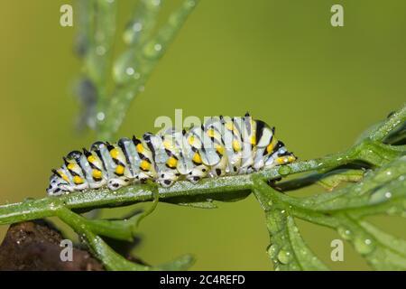 Papilio polyxenes, el (este) negro swallowtail, americano swallowtail oruga