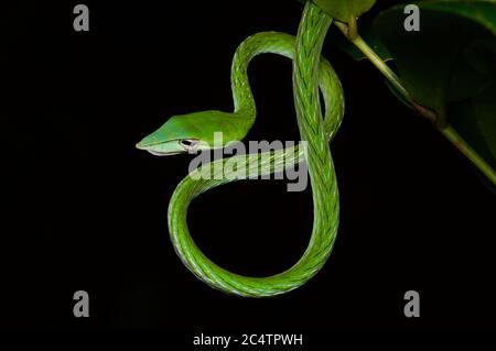 Un adulto de la serpiente blanca de nariz larga (Ahaetulla nasuta) enrollado por la noche en la selva baja de Kalutara, Sri Lanka