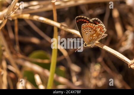 Aricia Cramera, Sur de Brown Argus Butterfly