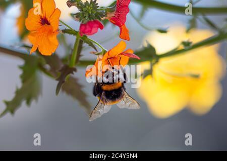 cerca de una abeja abejorro en naranja nemesia sunsatia flor con hermoso fondo de bokeh borroso; salvar las abejas sin pesticidas concepto de biodiversidad