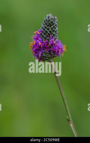Púrpura de la pradera Clover, Dalea purpurea