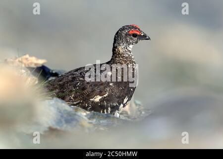 Roca ptarmigan, pollo de nieve (Lagopus muta, Lagopus mutus), macho, vista lateral, Francia