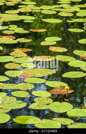 Lago con lirios de agua amarillos en flor