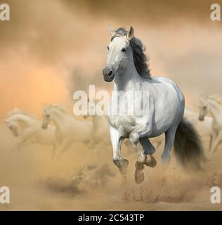 Semental andaluz en praderas. Correr un caballo blanco en un salvaje. Caballos blancos salvajes al atardecer, galopando. Animales de granja tema