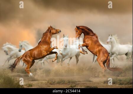 Los sementales luchan en el desierto con los caballos blancos en el fondo. Praderas silvestres,