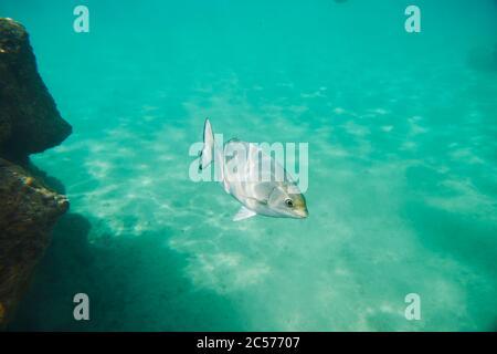 Peces, laterales, nadar, arrecife de coral de colores, mar de coral, bahía de Hanauma, isla hawaiana de Oahu, Hawai, estado de Aloha, Estados Unidos