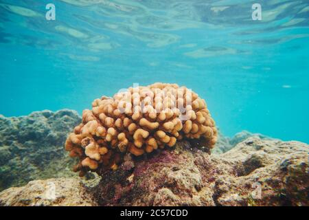 Coloridos arrecifes de coral, Mar de Coral, Bahía Hanauma, Isla Hawaiana de Oahu, Hawai, Estado Aloha, Estados Unidos