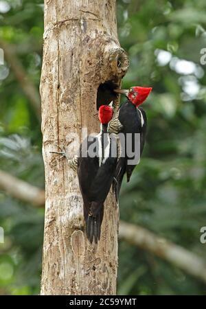 Crimson-crested Woodpecker (Campephilus melanoleucos melanoleucos) pair inspecting hole in dead tree  Nueva Dolima; Colombia          November