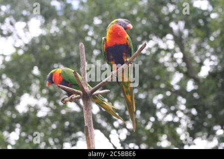 Rainbow Lorikeet en Lone Pine Koala Sanctuary, Brisbane