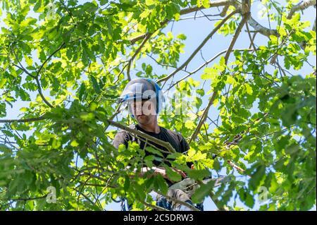 Un cirujano arborista o un arborista se montó en el dosel de un árbol listo para empezar a trabajar.