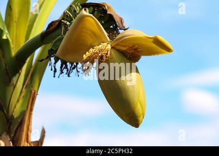 Plátano de flores y plátano joven en el árbol