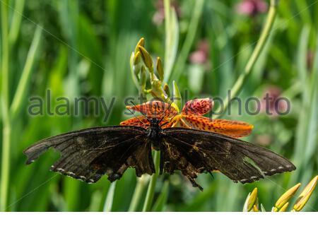 picea de la cola de cisne (papilio troilus)en el lirio de blackberry (iris domestica) con las alas dañadas Foto de stock