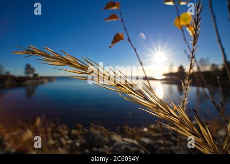 Primer plano de una cabeza de semilla de pasto dorado frente a una bahía cristalina del océano en un día brillante en otoño.