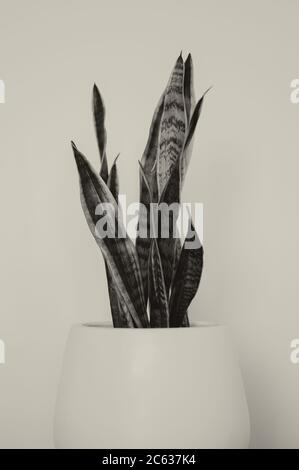 Planta de serpientes en Pot Blanco Postre interior Succulent