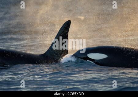 Orca o ortiga asesina (Orcinus orca) que se alimenta de arenque en la zona de Tysfjord (Noruega). Las orcas masculinas crecen hasta 7 m, mientras que las hembras tienen una longitud de 5 m,