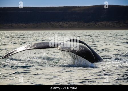 Una cola de ballena derecha del sur en Península Valdés, Océanos Atlántico. Argentina.