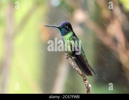 El primer plano del macho de Talamanca (Eugenes spectabilis) persiguiendo en una rama en las montañas de Panamá. Este colibrí se encuentra en Costa Rica