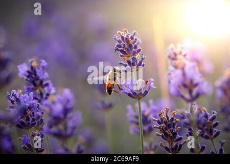Día de trabajo en la naturaleza. La abeja diligente cosecha el polen de la flor de lavanda púrpura para hacer miel en verano. Imagen macro de primer plano