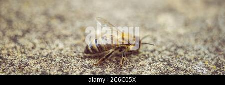 abeja en un camino de piedra, foto macro