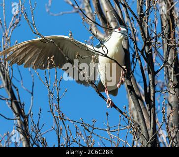 Una cría de la garza de la noche coronada negra equilibrio en ramas separadas con un ala abierta mordeduras en una ramita que tomará para los propósitos de anidamiento.