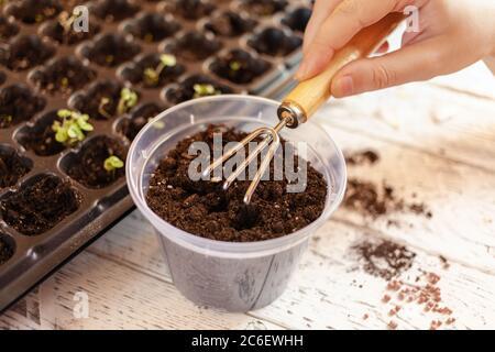 Una mujer suelta la tierra en una olla transparente usando un pequeño rastrillo. Aflojar la tierra antes de plantar una nueva planta. Tierra fértil en las células para el crecimiento s