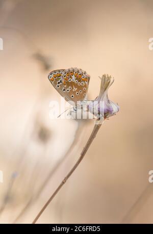 Sur de brown argus, Aricia cramera, mariposas, Andalucía, España.