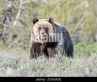 Oso Grizzly (Ursus arctos horribilis), Parque Nacional Grand Teton