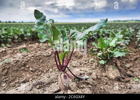 La hilera de remolacha verde joven deja crecer en la granja orgánica. Remolacha roja orgánica fresca. Verduras orgánicas naturales.