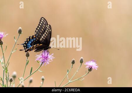 Mariposa de cola de cisno negra, Papilio polyxenes, sobre flor de pinyza rosa con tonos tierra mudos fondo pallette texto copiar espacio