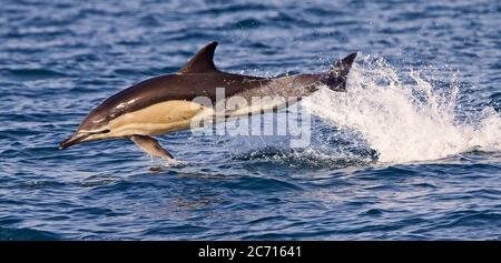 Delfín común de pico corto (Delphinus delphis) adulto saltando del mar en Mounts Bay, Cornwall, Inglaterra, Reino Unido.