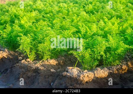 Plantaciones de zanahorias jóvenes crecen en el campo en un día soleado. Hileras de verduras. Cultivo de verduras. Granja. Cultivos planta Verde fresca. Agricultura, agricultura Foto de stock