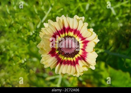 Doble color Zinnia común en el jardín, primer plano. Foto de stock