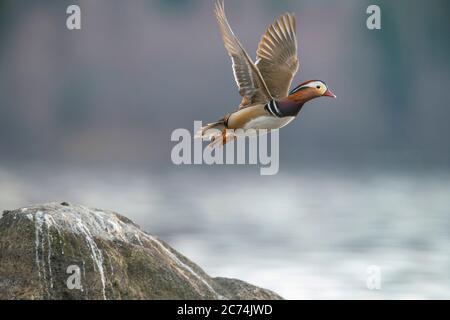 Pato mandarín (Aix galericulata), macho en vuelo, Finlandia