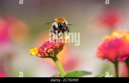 Vista de cerca de un néctar de recolección de abejas en una flor amarilla y rosa. Aislado sobre un bonito fondo de bokeh borroso.