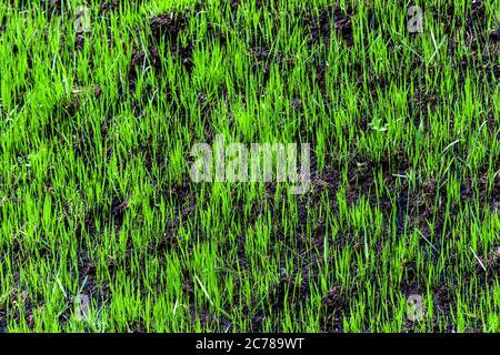 Hierba verde brotada en la tierra quemada en la primavera. El concepto de crecimiento, desarrollo de nuevas vidas y superación de barreras. De cerca.