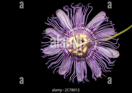 Primer plano de Maypop o Pasionflower púrpura (Passiflora encarnata) - Brevard, Carolina del Norte, EE.UU