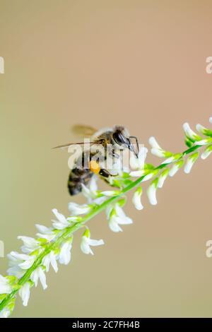 Insecto de la abeja de la miel que polinizan las flores blancas de la campana