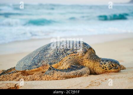 Tortuga verde, tortuga de roca, tortuga de carne (Chelonia mydas), tumbado en la playa, Estados Unidos, Hawaii, Oahu, Laniakea Beach