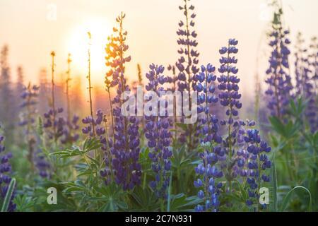 Puesta de sol o amanecer en el campo con hierba verde y altramuces en la niebla. Paisaje rural. Concepto de campo.