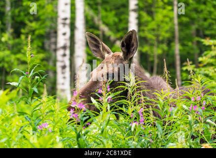 Elk se encuentra en el bosque en la alta hierba de la región de Leningrado. Rusia.