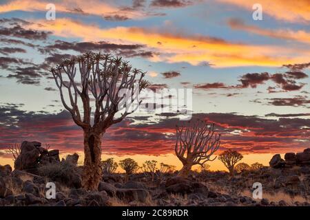 Puesta de sol en el carcaj de bosque de árboles, Aloe dichotoma, Granja Garas, sitio fósil Mesosaurus, Keetmanshoop, Namibia, África