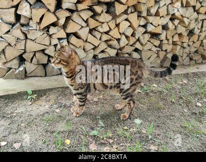 Gato de Bengala delante de la leña