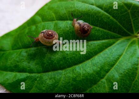 un tiro de dos caracoles aislados en hoja verde de betel Foto de stock