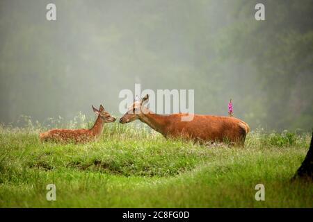 Ciervo rojo (Cervus elaphus), trasero con peón en un claro en el verano, vista lateral, Alemania, Baden-Wuerttemberg