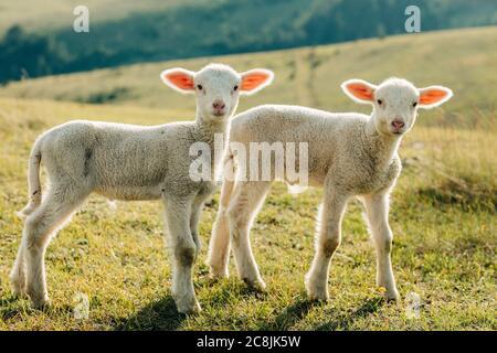 Dos corderos en el prado en un día soleado