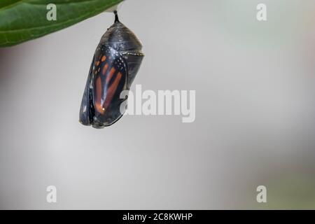 Mariposa monarca, Danaus plexippson, a punto de emerger de crisálida
