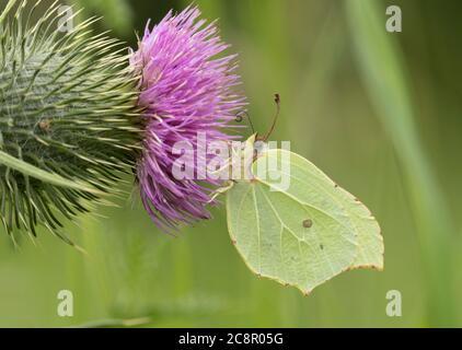 Mariposa de azufre, Gonepteryx rhamni hembra adulta sola alimentándose en el cardo de Spear, Cirsium vulgare, Worcestershire, Reino Unido.